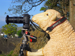 Cartmel Sheep oficial photographer